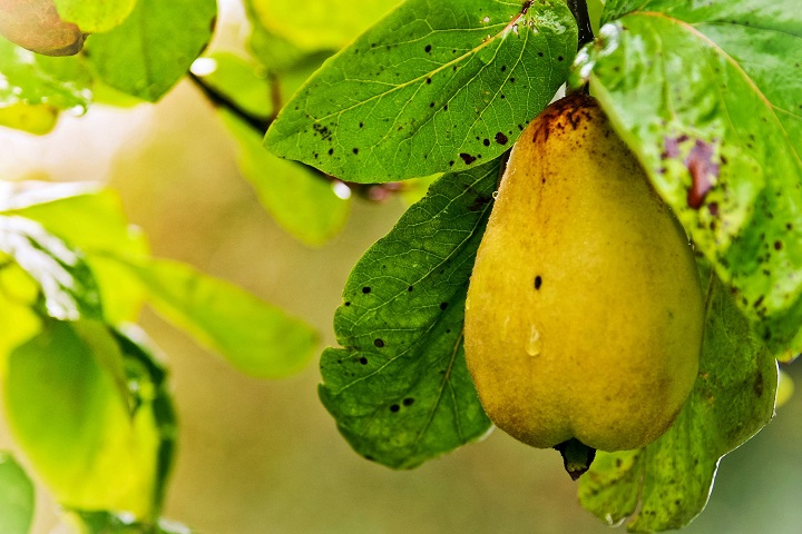 Pear fruits that are good for diabetes